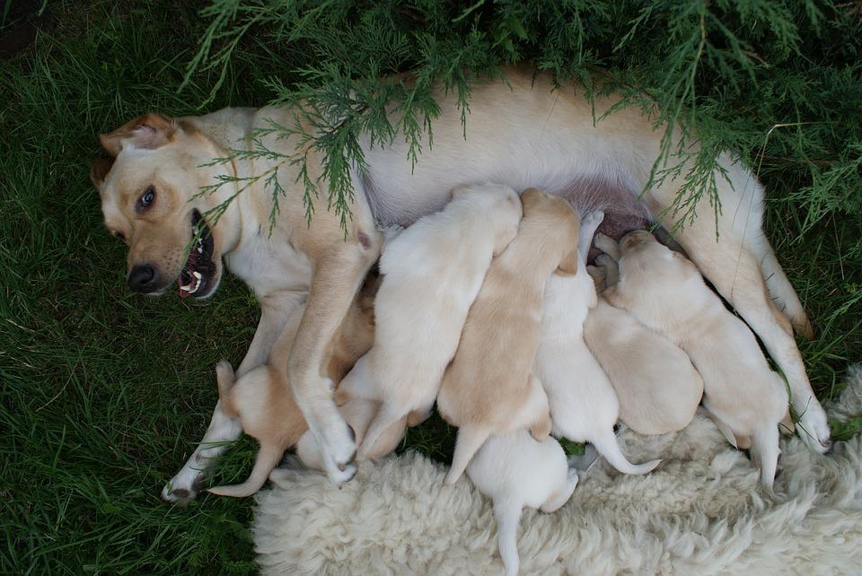 puppies-2186092_960_720